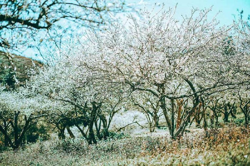 Rừng hoa Mộc Châu